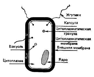 Ворсинки микробиология