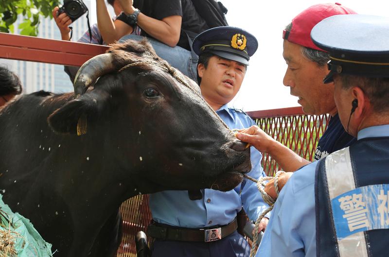 Корова из Фукусимы