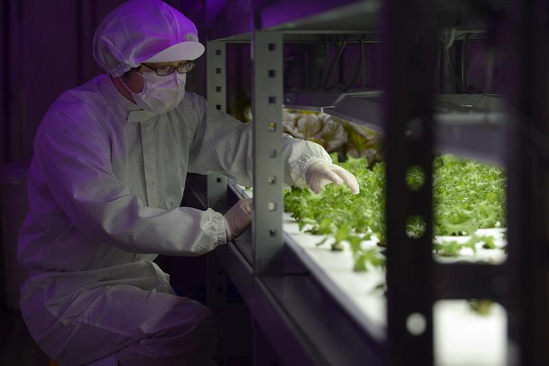 Ферма по выращиванию зелени салата используя светодиодное освещение